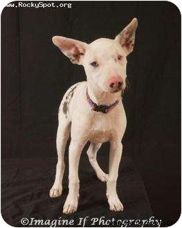 Terrier (Unknown Type, Small) Mix Dog for adoption in Newcastle, Oklahoma - Miss Piglet
