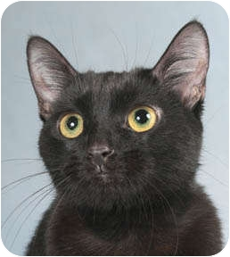 Domestic Shorthair Cat for adoption in Chicago, Illinois - Pearl