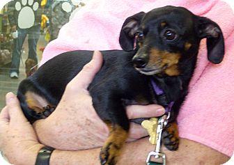 Dachshund Mix Dog for adoption in San Jose, California - Gertrude