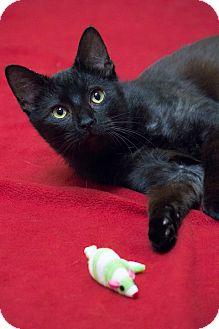 Bombay Cat for adoption in Chicago, Illinois - Cinderfella