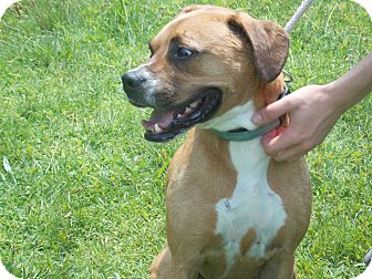 Boxer/Hound (Unknown Type) Mix Dog for adoption in SOUTHINGTON, Connecticut - Shillo, URGENT