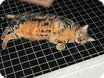 Bengal Cat for adoption in Jeffersonville, Indiana - Mercedes