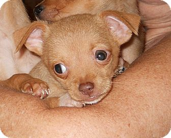 Chihuahua Puppy for adoption in springtown, Texas - littlebit