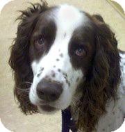 English Springer Spaniel Dog for adoption in Minneapolis, Minnesota - Buster