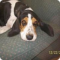 Adopt A Pet :: Holly - Leesburg, VA
