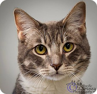 Domestic Shorthair Cat for adoption in Westminster, California - Fenton