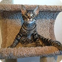 Adopt A Pet :: Willie Wonka (sweet as candy - Sterling Hgts, MI