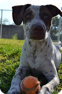 German Shorthaired Pointer Mix Dog for adoption in Humble, Texas - Roamy