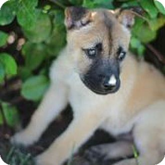 German Shepherd Dog/Shiba Inu Mix Puppy for adoption in CHAMPAIGN, Illinois - MIKEY