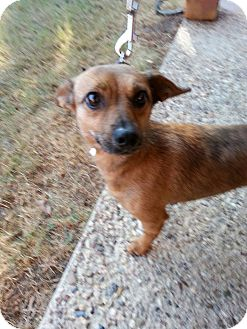 Dachshund/Chihuahua Mix Dog for adoption in Andalusia, Pennsylvania - Cashew