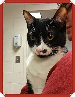 Domestic Shorthair Cat for adoption in Marietta, Georgia - BUGGIE