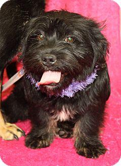Scottie, Scottish Terrier Mix Puppy for adoption in Jackson, Michigan - Lottie