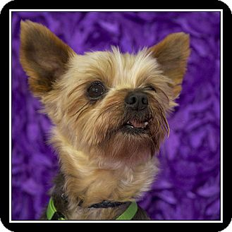 Yorkie, Yorkshire Terrier Dog for adoption in San Diego, California - Jadine