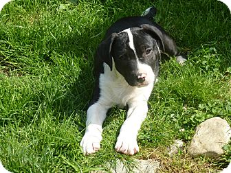 American Pit Bull Terrier/American Bulldog Mix Puppy for adoption in Eastpointe, Michigan - Jagger