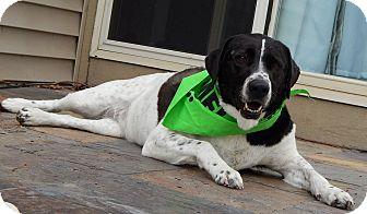 Pointer/Labrador Retriever Mix Dog for adoption in Indianapolis, Indiana - Kenna