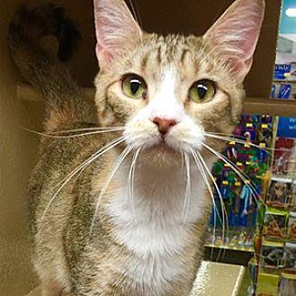 Domestic Mediumhair Cat for adoption in Garner, North Carolina - Nina