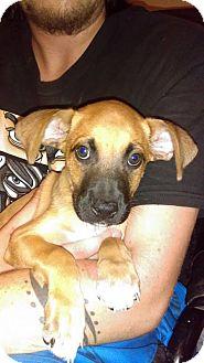 German Shepherd Dog Mix Dog for adoption in PEORIA, Arizona - arcanine