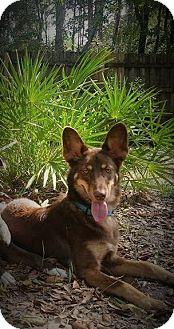 German Shepherd Dog/Australian Shepherd Mix Puppy for adoption in Weeki Wachee, Florida - Harvey