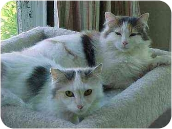 Domestic Mediumhair Cat for adoption in Portland, Oregon - Ali & Zoey (beauties!)