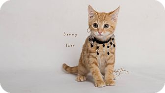 Domestic Shorthair Kitten for adoption in Riverside, California - Sammy
