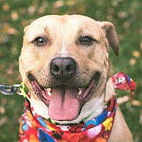 Shepherd (Unknown Type)/Labrador Retriever Mix Dog for adoption in Homer, New York - Havoc