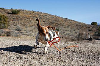 Basset Hound Dog for adoption in Acton, California - Woofus