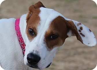 Pointer/Mixed Breed (Medium) Mix Puppy for adoption in Seattle, Washington - June, summer with a fur coat