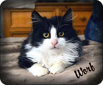 Ragdoll Kitten for adoption in Sherman Oaks, California - Worf