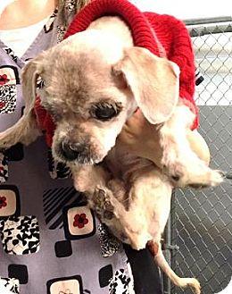 Lhasa Apso Dog for adoption in Glendale, Arizona - Ernie