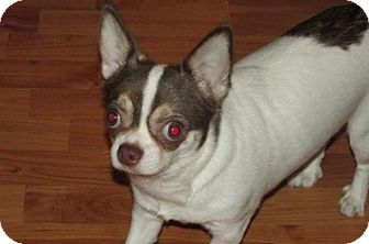 Chihuahua Mix Dog for adoption in Rocky Mount, North Carolina - Tootie