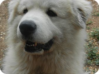 "Great Pyrenees Dog for adoption in Granite Bay, California - TIBERIOUS ""TIBBI"""