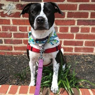 Mixed Breed (Medium) Mix Dog for adoption in Richmond, Virginia - Imogen