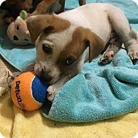 Adopt A Pet :: Apollo - Charlotte, NC