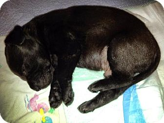 Labrador Retriever Puppy for adoption in Denton, Texas - Slider