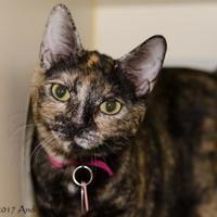 Adopt A Pet :: Shadow - Kennewick, WA