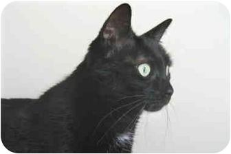 Domestic Shorthair Cat for adoption in Colmar, Pennsylvania - Anya
