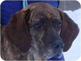 Plott Hound Dog for adoption in Houghton, Michigan - Sassy