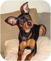 Miniature Pinscher Dog for adoption in Nashville, Tennessee - Niko