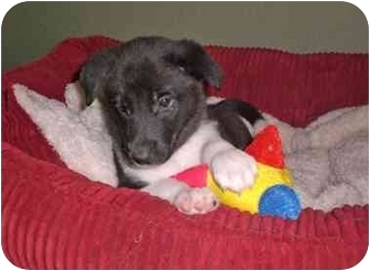 Border Collie/Labrador Retriever Mix Puppy for adoption in Austin, Texas - Demi