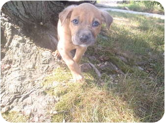 Boxer/Labrador Retriever Mix Puppy for adoption in Bel Air, Maryland - Bree