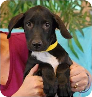 Retriever (Unknown Type) Mix Puppy for adoption in Las Vegas, Nevada - Droopy