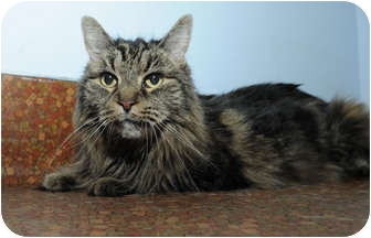 Domestic Mediumhair Cat for adoption in New York, New York - Angel