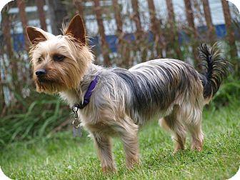 Silky Terrier Dog for adoption in Toronto/Etobicoke/GTA, Ontario - Charlie