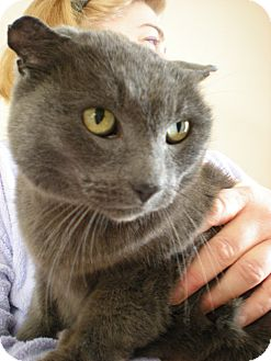 Russian Blue Cat for adoption in Southington, Connecticut - Smokey