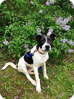 Border Collie Mix Dog for adoption in Garden City, Michigan - Reynolds