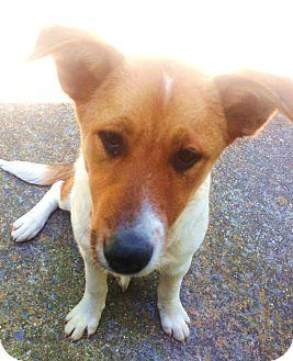Border Collie/Blue Heeler Mix Dog for adoption in Snohomish, Washington - Sweetest Puppy Bendi!