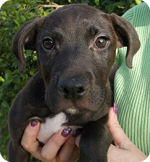 Labrador Retriever/Pit Bull Terrier Mix Puppy for adoption in New Hartford, Connecticut - TINO -Mellow little guy!