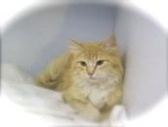 Domestic Mediumhair Cat for adoption in Grand Junction, Colorado - Tangelia Tree Hugger