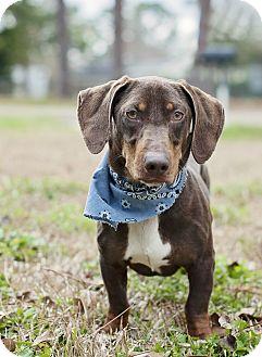 Basset Hound/Terrier (Unknown Type, Medium) Mix Dog for adoption in Portsmouth, Rhode Island - Rourke-w/video!
