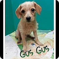 Adopt A Pet :: GusGus - St. Robert, MO